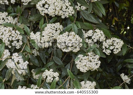 Evergreen shrub white flowers stock photo royalty free 640555300 evergreen shrub with white flowers mightylinksfo Image collections