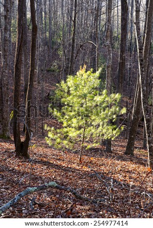 Evergreen Tree in the Forest - stock photo