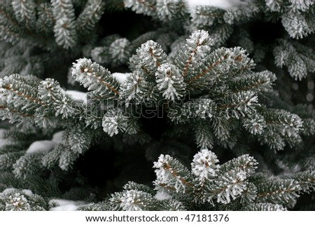 Evergreen tree with snow and frost - stock photo