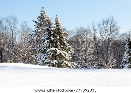 evergreen trees during winter