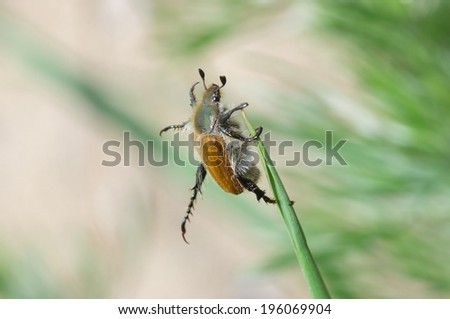 Everyday exercises for a fat old beetle (Phyllopertha horticola) - stock photo