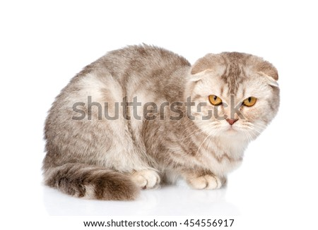 Evil Scottish kitten looking at camera. isolated on white background