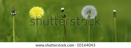 evolution period to life of the dandelion