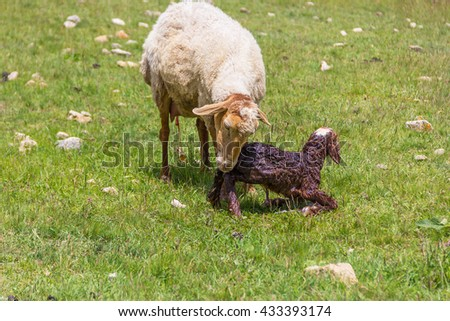 Ewe sheep with newborn lamb. The mother takes care of the baby. - stock photo