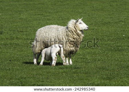 Ewe suckling a single ram lamb in a field on a sunny day - stock photo