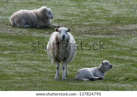 ewe with lamb - stock photo