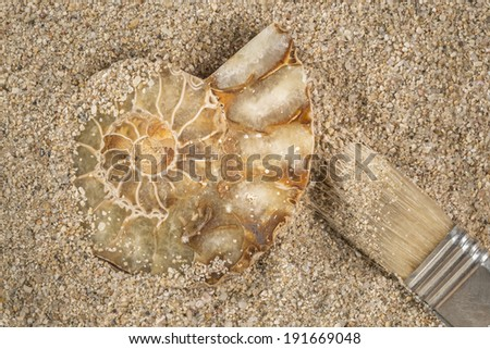 Excavating a prehistoric seashell fossil This specimen is an Ammonite that turned into quartz stone with the pass of the time. They lived approximately 240 million years ago in the Devonian period.  - stock photo