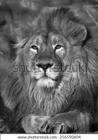 Excellent lion in sunset light. Adorable King of beasts, biggest cat and the most dangerous raptor of the world. Portrait of expressive animal. Amazing beauty of wildlife in black and white image.