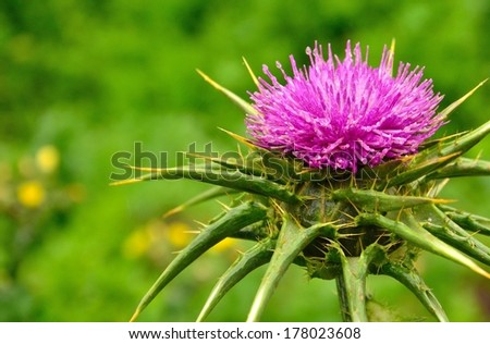 Excellent silybum marianum with all its splendor on blurred greenish background and natural water drops of rain on its sweet stamens - stock photo