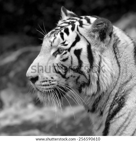 Excellent white bengal tiger. Adorable big cat, but dangerous raptor. Picturesque monochrome side face portrait of expressive and mighty animal. Amazing beauty of wildlife in black and white image. - stock photo