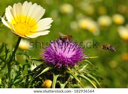Excellent wild flowers of daisy and milk thistle with two bees overflying around the stamens - stock photo