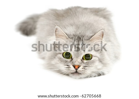 Excited cute cat with dilated pupils before jump - stock photo
