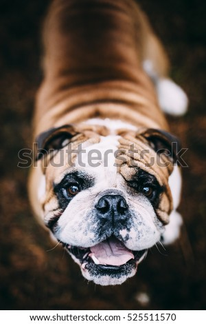 Excited English Bulldog Looking Up