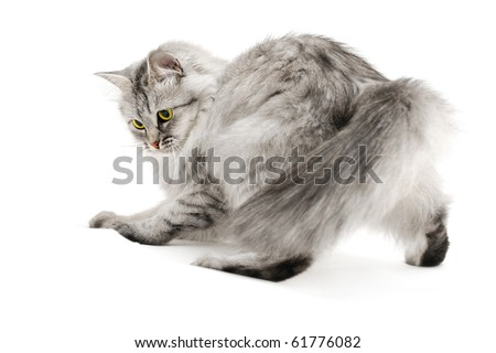 Excited gray fluffy cat playing isolated on white - stock photo