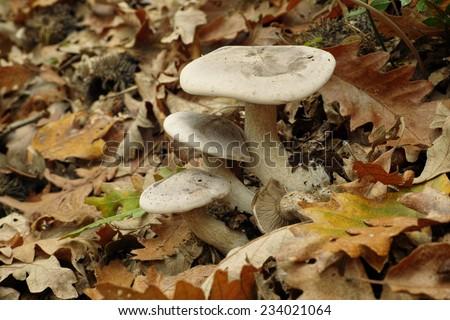 exemplars of fungus cloud funnel, lepista nebularis - stock photo