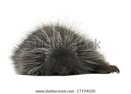 Exhausted porcupine resting on a white background - stock photo