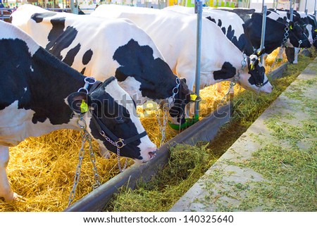 Exhibition cows in agricultural fair, Cows, photography - stock photo