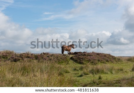 Exmoor Pony (Equus ferus caballus) by a Prehistoric Burial Mound on the Top of Withypool Hill within Exmoor National Park in Somerset, England, UK