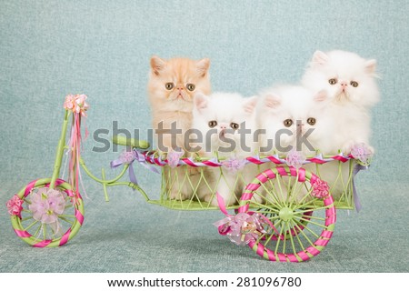 Exotic and Persian kittens sitting inside miniature green metal cart decorated with ribbons and bows on mint green background  - stock photo
