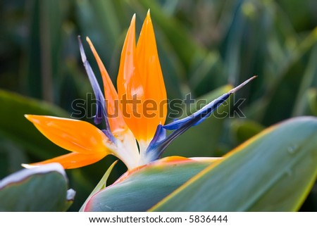 exotic bird of paradise flower and plant on garden