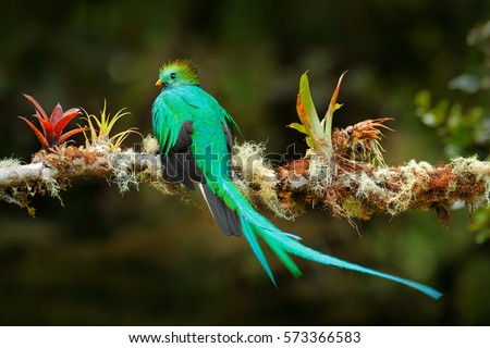 Exotic bird with long tail. Resplendent Quetzal, Pharomachrus mocinno, magnificent sacred green bird from Savegre in Costa Rica. Rare magic animal in mountain tropic forest. Birdwatching in America.