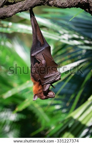 Exotic black and brown flying fox hanging upside down in a rainforest - stock photo