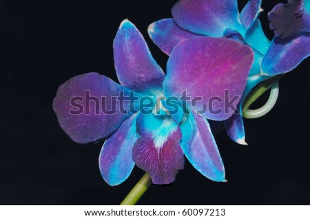 Exotic Blue Malaysian Orchid on Black - stock photo