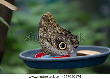 Exotic butterfly owl eyes - stock photo