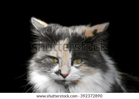Exotic calico cat