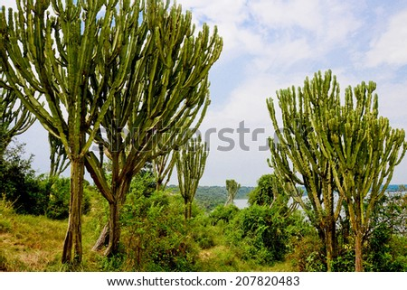 exotic candelabra trees, Queen Elizabeth National Park, Uganda