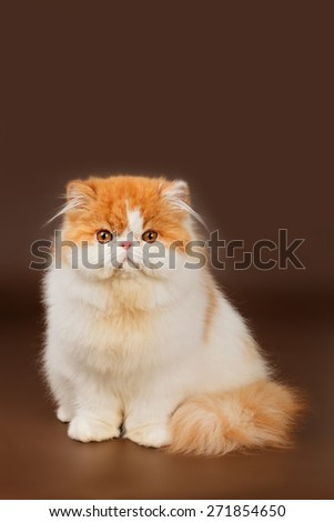 Exotic cat - stock photo