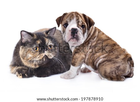 Exotic cat and and english Bulldog puppy - stock photo