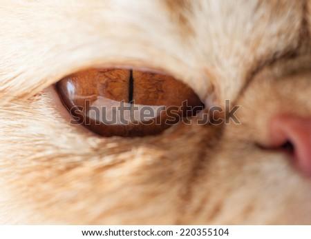 Exotic cat close up - stock photo