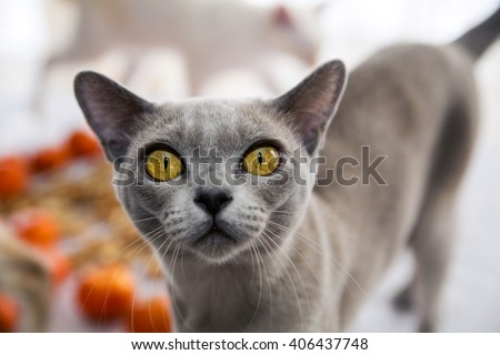 Exotic cat hold its breath and awaits - stock photo