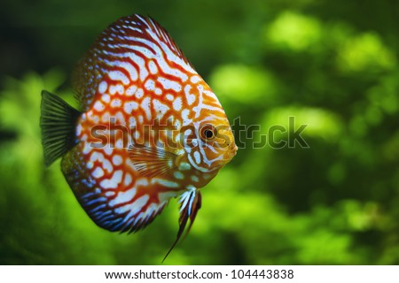 exotic colorful discus floats in the aquarium - stock photo