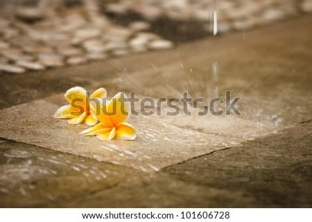 exotic flower Plumeria under the rain - stock photo