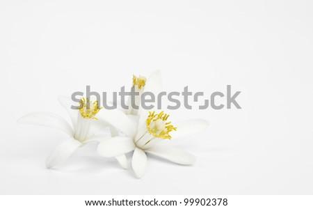 Exotic 3 flowers of lemon on light gray background - stock photo