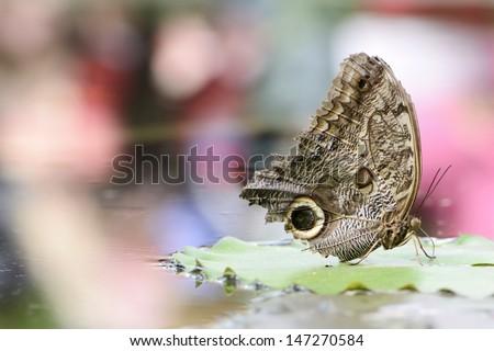 Exotic Forest Giant Owl (owl butterfly, caligo eurilochus) - stock photo