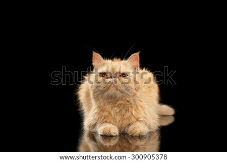 Exotic ginger cat Lying on Black mirror background - stock photo