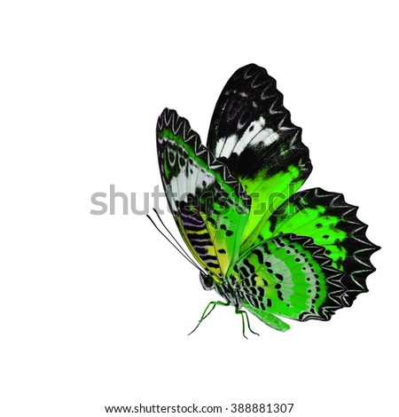 Exotic green butterfly, the Leopard Lacewing fully wing stretching and standing on its legs isolated on white background