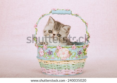 Exotic kitten sitting inside Spring floral decorated basket on light pink background  - stock photo