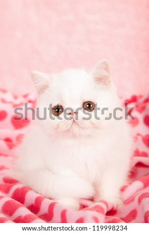 Exotic kitten sitting on pink heart print fabric for Valentine theme - stock photo