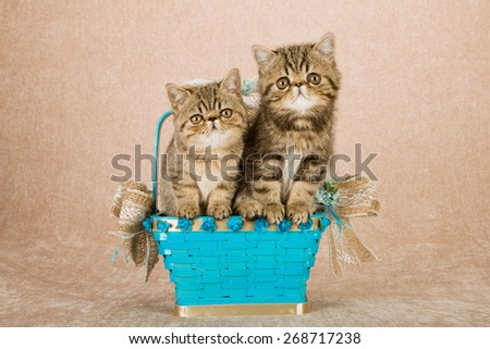 Exotic kittens sitting inside blue basket on beige background  - stock photo