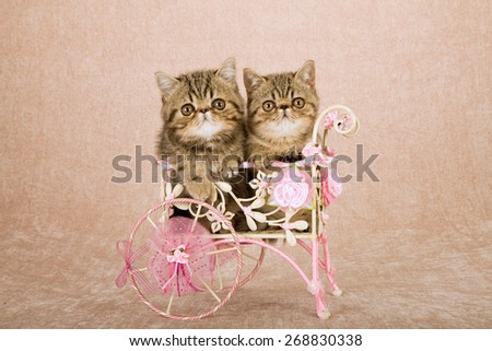 Exotic kittens sitting inside white metal cart decorated with floral ribbons bows and silk flowers on beige background  - stock photo