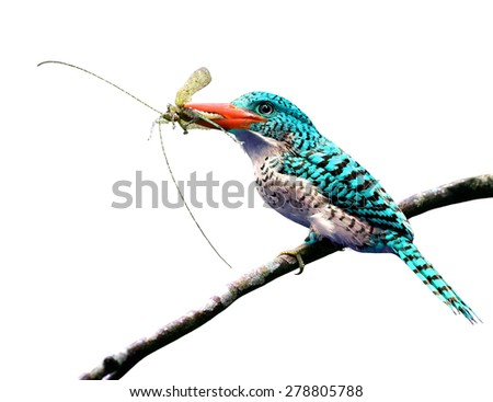 Exotic pale blue bird carrying insect in her bills to feed the chicks isolated on white background - stock photo