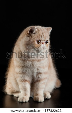 Exotic Persian cat on black background
