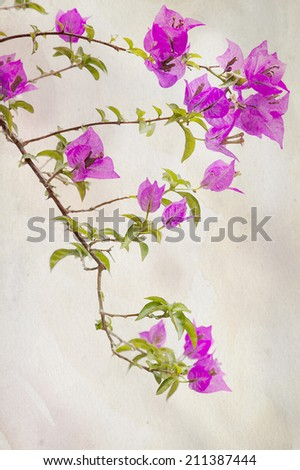 Exotic pink Bougainvilleas against a vintage background  - stock photo