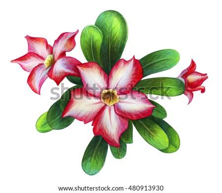 Exotic pink flower drawing kalachuchi stock illustration 480913930 exotic pink flower drawing kalachuchi mightylinksfo