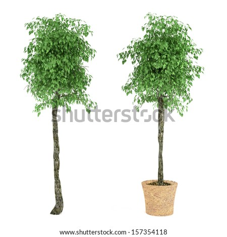 Exotic plant tree in the pot - stock photo