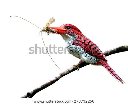 Exotic red bird carrying insect in her lips to feed the chicks isolated on white background - stock photo